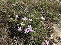 Jamesbrittenia calciphila Flipphi 2.jpg