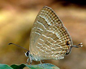 Common Caerulean DSF