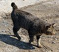 Japanese Bobtail walking.JPG