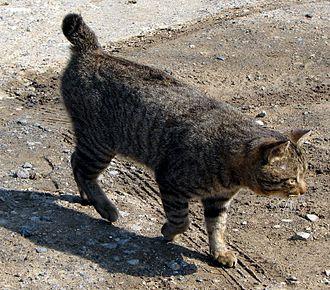 Cat body-type mutation - A cat with the Japanese Bobtail mutation