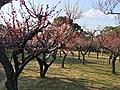 Japanese apricot garden.jpg