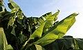 Japanische Faser-Banane (Musa basjoo) Blumengärten Hirschstetten Wien 2014 a.jpg