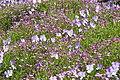 Jardin alpin (528711530).jpg