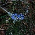 Jasione montana-Flower-20141018.jpg