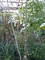 Jatropha curcas (DITSL).JPG