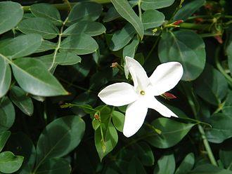 Jasminum grandiflorum - Image: Jazmín limonero
