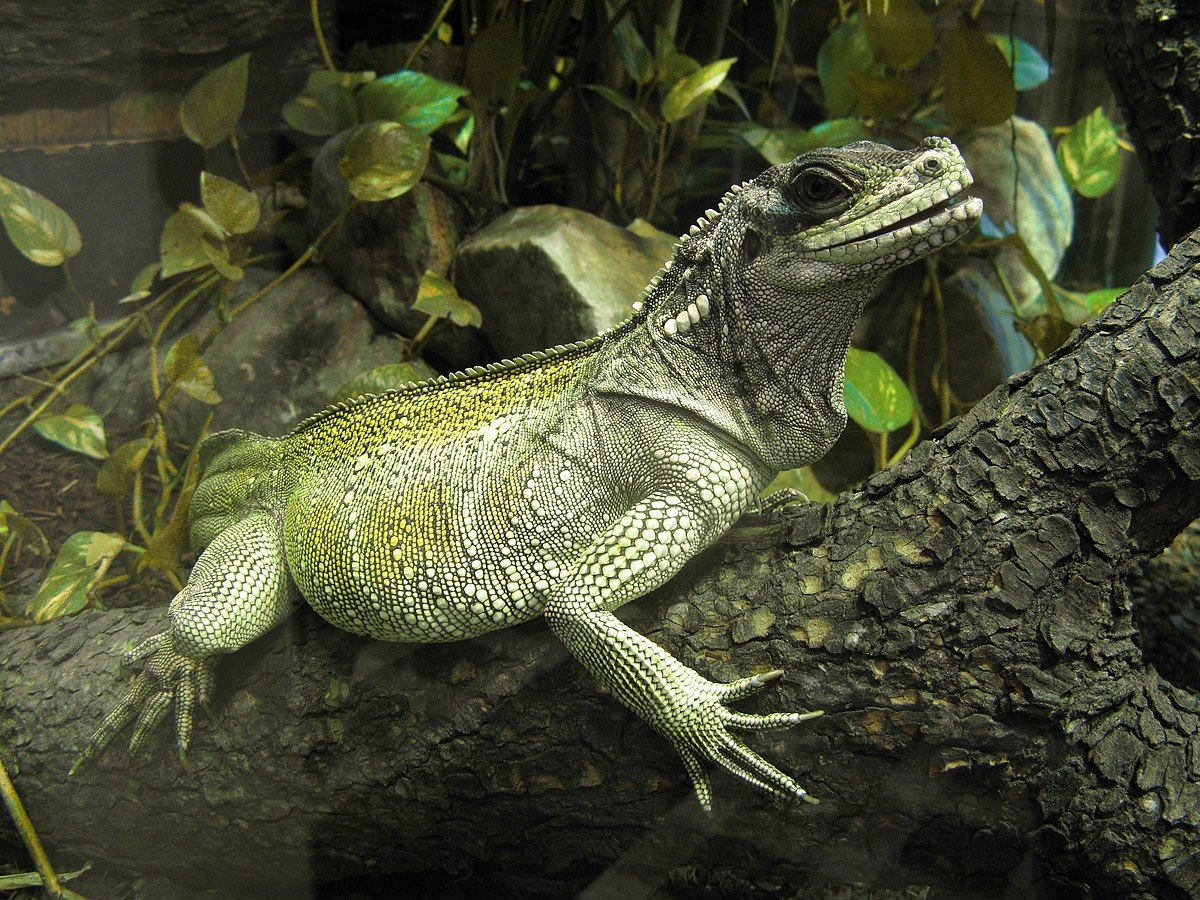 K Dragon Lizard Webers Sailfin Dragon ...