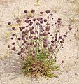 Joshua Tree National Park flowers - Salvia columbariae - 8.JPG
