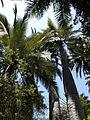 Jubaea chilensis (scott.zona) 008.jpg