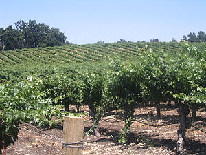 Part of the Justin Winery vineyard in Paso Rob...