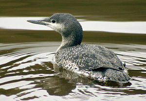 English: Juvenile red-throated diver (Gavia st...
