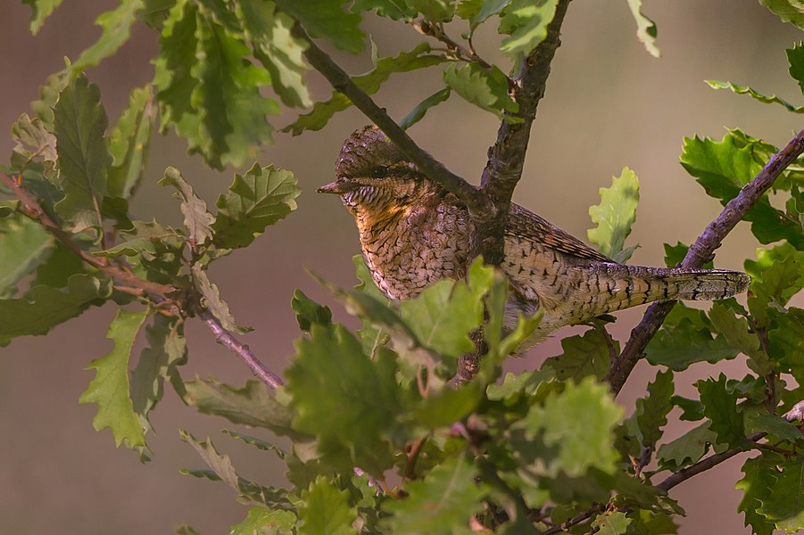 English:  Eurasian Wryneck.