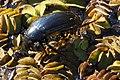 Käfer im Unteren Odertal.JPG