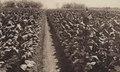 KITLV - 88279 - Kleingrothe, C.J. - Medan - Tobacco fields at the plantation Mariëndal of the Deli Company in Deli - 1905.tif
