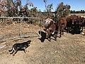 Kelpie & shorthorn heifers.jpg