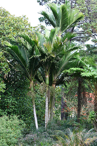 Norfolk Island - Rhopalostylis baueri, a native palm