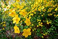 Kerria japonica - Flickr - odako1.jpg
