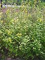 Kerria japonica pleniflora 6.JPG