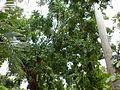 Kigelia africana-full view.JPG