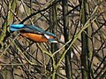 Kingfisher - geograph.org.uk - 1541327.jpg