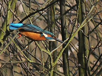 English: Kingfisher Kingfisher diving