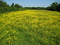 Kings Langley, Barnes Farm buttercups - geograph.org.uk - 1339898.jpg