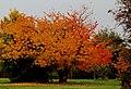 Kirschbaum in herbstlicher Färbung - panoramio.jpg