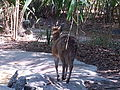 Klipspringer (Oreotragus oreotragus) at Jacksonville Zoo.jpg
