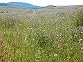 Knautia arvensis - 35454603290.jpg