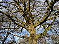 Knotted Tree, Ivy Lane - geograph.org.uk - 342056.jpg
