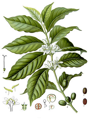 Arabica-Kaffee (Coffea arabica), Illustration