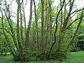 Kornik Arboretum skrzydlorzech kaukaski.jpg