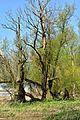 Kreis Pinneberg, Naturschutzgebiet 34 WDPA ID 30102 Haseldorfer Binnenelbe mit Elbvorland 07.jpg