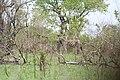 Kruger Park, Zebra - panoramio.jpg