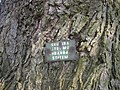 Kysice KL CZ Javory v Kysicich Acer saccharinum 078.jpg