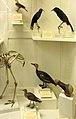 La Specola - Extinct birds.jpg