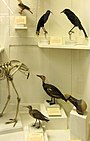 La Specola - Extinct birds.jpg