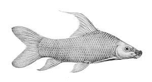 Labeo barbatus
