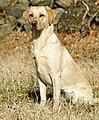 Labrador Retriever - Yellow.JPG