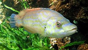 Kuckuckslippfisch (Labrus mixtus)