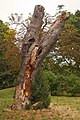 Laetiporus sulphureus (29035605663).jpg