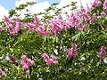 Lagerstroemia speciosa (flowers).JPG