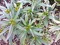 Lamiales - Antirrhinum majus - 1.jpg