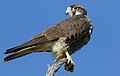 Lanner falcon, Falco biarmicus, at Kgalagadi Transfrontier Park, Northern Cape, South Africa (34415574312).jpg