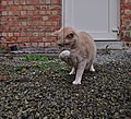 Larry the cat playing holding a wool string on gravel in Auderghem, Belgium (DSCF2319).jpg