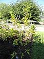 Laurus azorica - Botanischer Garten, Frankfurt am Main - DSC02389.JPG