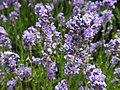 Lavender (34703392574).jpg