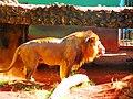 Leão - panoramio (2).jpg