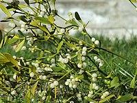 mistletoe wiktionary