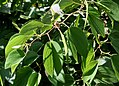 Leaves,Flower buds & Fruit I IMG 8685.jpg